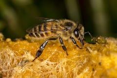 Abeja en la fruta del mango - foto macra de la abeja en el mango Foto de archivo