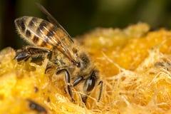Abeja en la fruta del mango - foto macra de la abeja en el mango Imagen de archivo libre de regalías