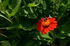 Abeja en la fuente de néctar Foto de archivo libre de regalías