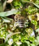 Abeja en la hierba en las flores Foto de archivo libre de regalías