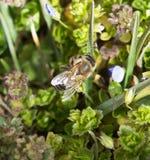 Abeja en la hierba en las flores Fotos de archivo