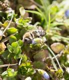 Abeja en la hierba en las flores Foto de archivo