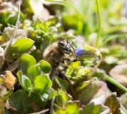 Abeja en la hierba en las flores Imágenes de archivo libres de regalías