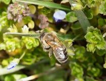 Abeja en la hierba en las flores Fotos de archivo libres de regalías