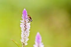 Abeja en la hierba verde por la mañana Imagen de archivo