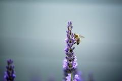 Abeja en la lavanda hermosa que florece en comienzo del verano Fotos de archivo