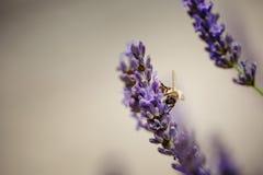 Abeja en la lavanda hermosa que florece en comienzo del verano Fotografía de archivo libre de regalías