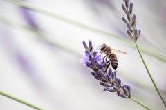 Abeja en la lavanda hermosa que florece en comienzo del verano Imagenes de archivo