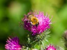 Abeja en la macro escocesa de la flor del cardo, foco selectivo, DOF bajo Foto de archivo