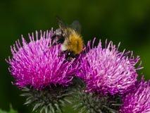 Abeja en la macro escocesa de la flor del cardo, DOF bajo, foco selectivo Imagen de archivo