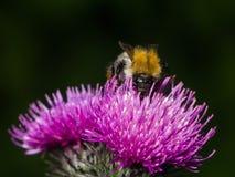Abeja en la macro escocesa de la flor del cardo, foco selectivo Imagen de archivo