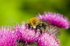 Abeja en la macro escocesa de la flor del cardo, foco selectivo Fotos de archivo