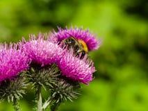 Abeja en la macro escocesa de la flor del cardo, foco selectivo Fotografía de archivo