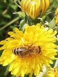 Abeja en la mantequilla de la flor foto de archivo