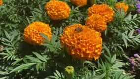Abeja en la maravilla anaranjada en el parque de la ciudad almacen de metraje de vídeo