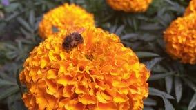 Abeja en la maravilla anaranjada en el parque de la ciudad al aire libre almacen de video