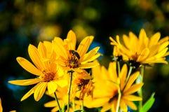 Abeja en la margarita amarilla Fotografía de archivo libre de regalías