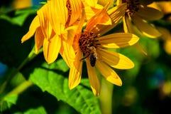 Abeja en la margarita amarilla Fotos de archivo