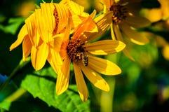 Abeja en la margarita amarilla Imagen de archivo