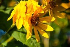 Abeja en la margarita amarilla Imagen de archivo libre de regalías