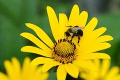 Abeja en la margarita amarilla DOF bajo Fotografía de archivo libre de regalías