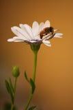 Abeja en la margarita blanca Fotos de archivo