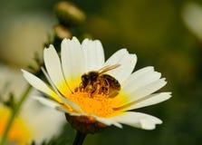 Abeja en la margarita blanca Foto de archivo libre de regalías