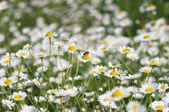 Abeja en la naturaleza de la flor de la manzanilla Imagen de archivo libre de regalías