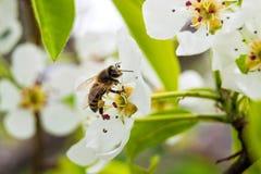 Abeja en la pera de la flor, polinización de plantas, colección de néctar, Fotografía de archivo libre de regalías