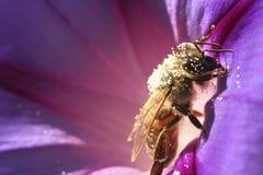 Abeja en la petunia de la flor Fotos de archivo libres de regalías