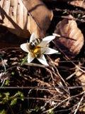 Abeja en la primavera temprana Fotos de archivo libres de regalías