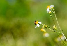 Abeja en la abeja que sorprende, abeja de la flor polinizada de la flor amarilla, N Foto de archivo