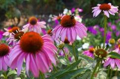 Abeja en la abeja que sorprende, abeja de la flor polinizada de la flor roja Imagen de archivo libre de regalías
