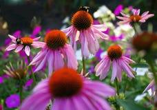 Abeja en la abeja que sorprende, abeja de la flor polinizada de la flor roja Foto de archivo libre de regalías