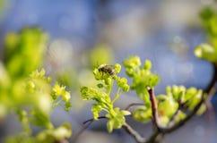 Abeja en la rama de la primavera Fotografía de archivo