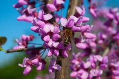 Abeja en la rama de un árbol floreciente Fotografía de archivo libre de regalías