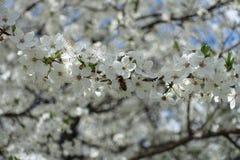 Abeja en la rama floreciente del ciruelo Imágenes de archivo libres de regalías