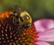 Abeja en la taza del cierre del extremo de la flor del Echinacea Foto de archivo