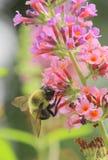 Abeja en la verbena rosada y púrpura Imagen de archivo