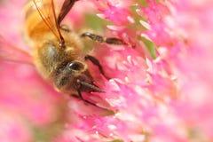 Abeja en las floraciones Fotografía de archivo
