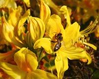 Abeja en las floraciones amarillas Imagen de archivo