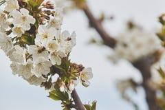 Abeja en las floraciones blancas del cerezo Foto de archivo libre de regalías