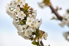 Abeja en las floraciones blancas del cerezo Imágenes de archivo libres de regalías