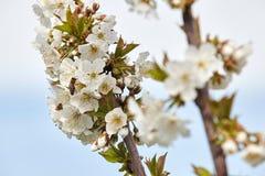Abeja en las floraciones blancas del cerezo Imagenes de archivo