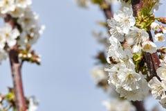 Abeja en las floraciones blancas del cerezo Fotos de archivo libres de regalías