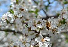 Abeja en las floraciones de la cereza Fotografía de archivo libre de regalías