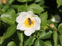 Abeja en las floraciones de la eglantina Fotos de archivo libres de regalías