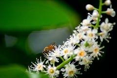 Abeja en las flores Fotos de archivo