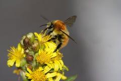 Abeja en las flores Imagenes de archivo