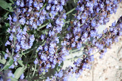 Abeja en las flores Foto de archivo libre de regalías